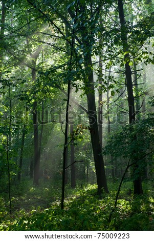 Misty deciduous stand in morning rain after with tree in foreground - stock photo