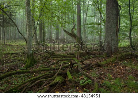 Misty deciduous stand of Bialowieza Forest in autumn with declined log moss wrapped in foreground - stock photo