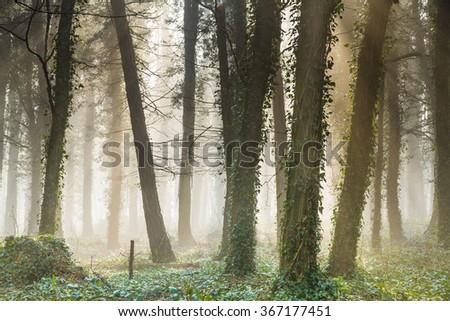 Misty early morning English woodland - stock photo