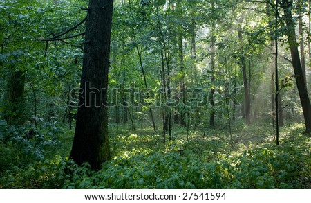 Misty forest at morning with dark spruce trunk in foreground - stock photo