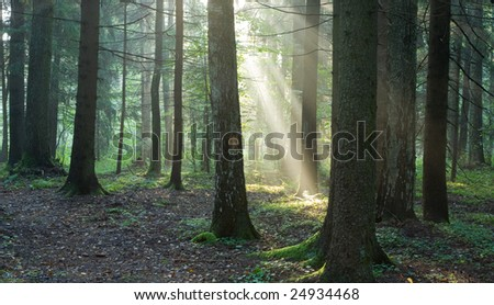 Misty forest at morning with sunbeams among trunks - stock photo