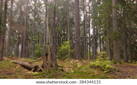 Misty late summer coniferous stand of Bialowieza Forest at sunrise,Bialowieza Forest,Poland,Europe - stock photo