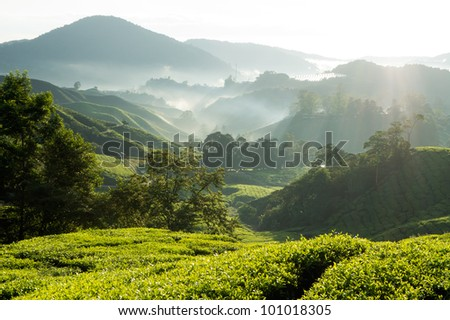 Misty morning at tea plantation farm - stock photo