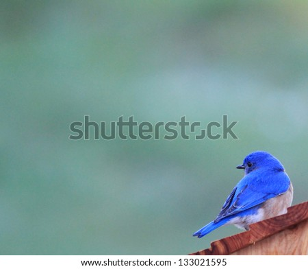 Misty Morning Bluebird - stock photo