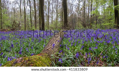 Misty morning in an English bluebell wood.
