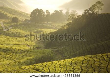 misty morning in tea farm at Cameron Highland Malaysia - stock photo