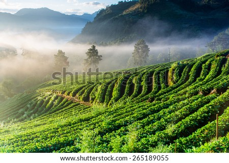 Misty morning sunrise in strawberry garden at doi angkhang mountain, chiangmai of Thailand - stock photo