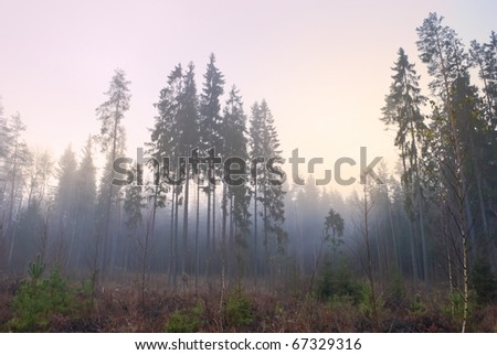 misty nordic forest in early rose morning - stock photo