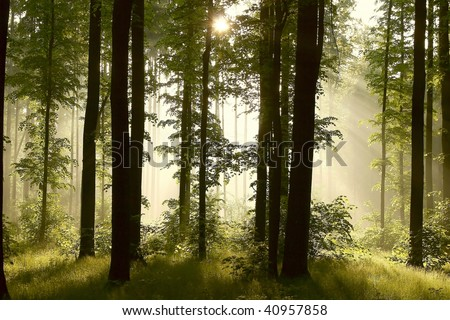 Misty oak forest with the rising sun passing through the fresh spring leaves. - stock photo