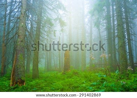misty pine forest - stock photo