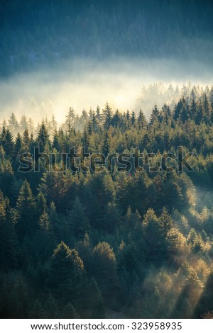 Misty pine forest on the mountain slope in a nature reserve - stock photo