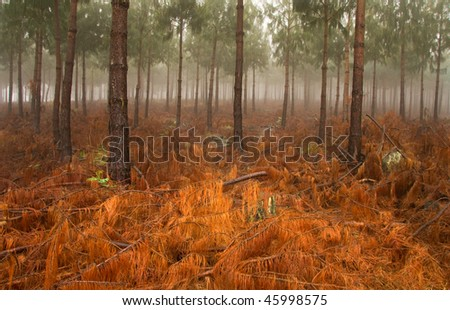 misty pine forest with ground covered in red colored fallen branches and pine needles in South Africa - stock photo