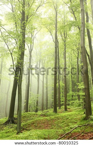Misty spring beech forest on the mountain slope in a nature reserve. - stock photo