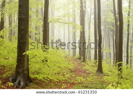 Misty spring forest during rainfall with beech trees on the mountain slope. - stock photo