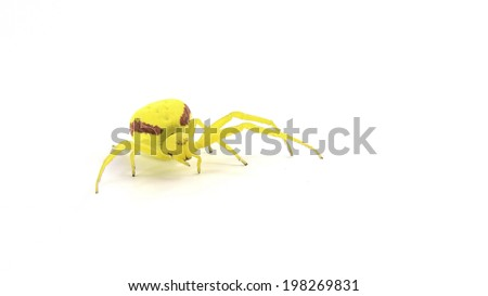 Misumena vatia: a female yellow crab spider who uses camouflage to catch prey and is usually found on a yellow or white flower. This female was in a garden in Washington state. Isolated on white. - stock photo