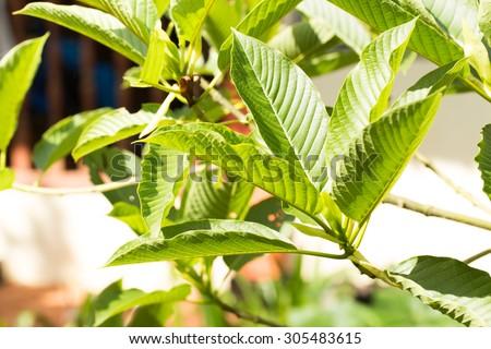 Mitragyna Speciosa Botany Andersonville