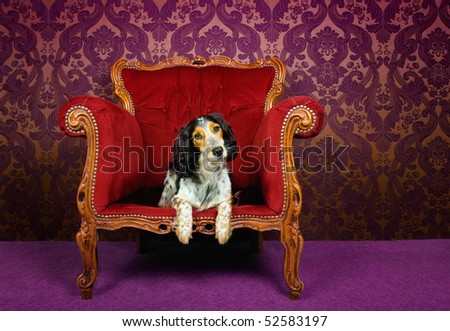 Mix breed dog in a red couch against purple wallpaper - stock photo