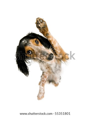 Mix breed dog isolated on white is waving at the spectator