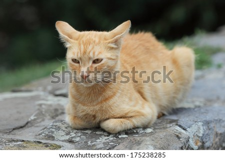 Mix breed domestic yellow cat at stone wall, selective focus