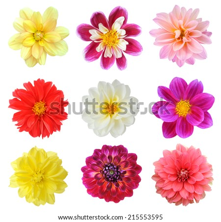 mix chrysanthemum dahlia isolated on white