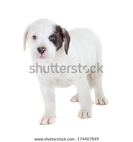 Mix labrador and bulldog puppy isolated on white