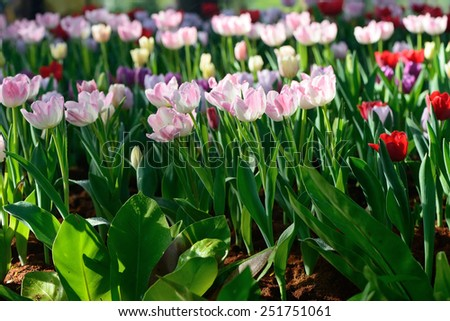 Mix of different bright colored tulips - stock photo