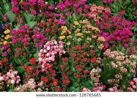 mix of sedum flower in gardan - stock photo
