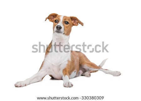 mix Podenco dog in front of a white background