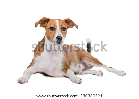 mix Podenco dog in front of a white background - stock photo