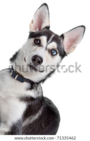 mixed breed, American Indian Dog, husky puppy - stock photo