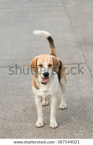 Mixed Breed Beagle Dog - stock photo