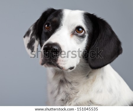 Mixed breed black and white spotted dog isolated against grey background. Light brown eyes. Studio portrait. - stock photo
