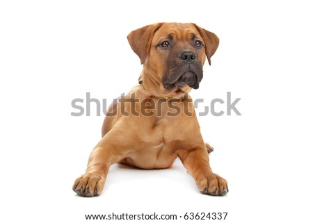 mixed breed Bordeaux dog puppy isolated on white