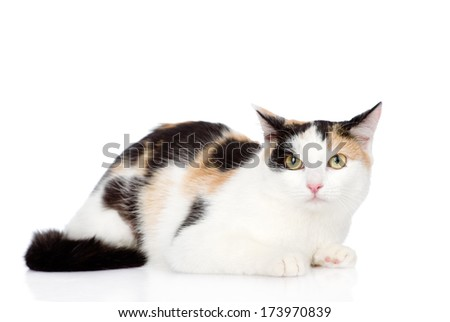mixed breed cat looking at camera. isolated on white background - stock photo