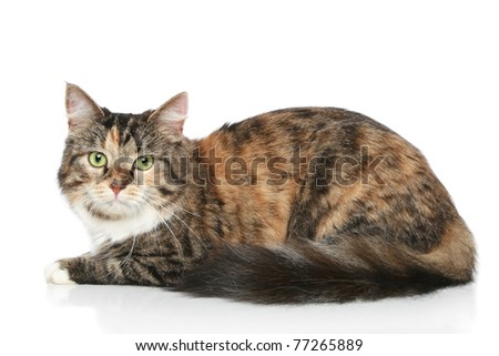 Mixed-breed cat resting on a white background - stock photo