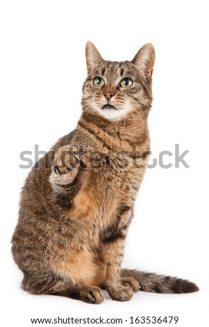 Mixed breed cat with paw in air, in front of white background