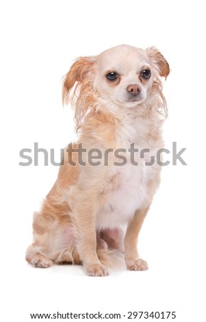 Mixed breed Chihuahua dog in front of a white background - stock photo