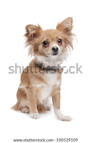 mixed breed Chihuahua in front of a white background