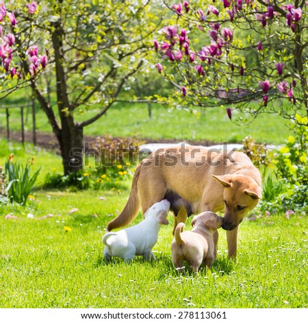 Mixed-breed cute little puppies playing with her dog mom outdoors on a meadow on a sunny spring day. - stock photo