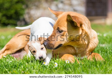 Mixed-breed cute little puppy playing with her dog mom outdoors on a meadow on a sunny spring day. - stock photo