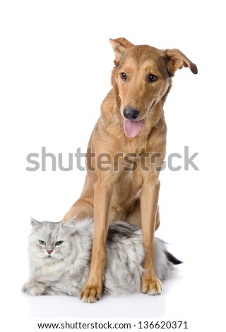 mixed breed dog an persian cat. looking at camera. isolated on white background - stock photo