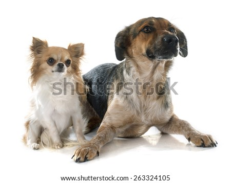 Mixed-Breed Dog and chihuahua in front of white background - stock photo