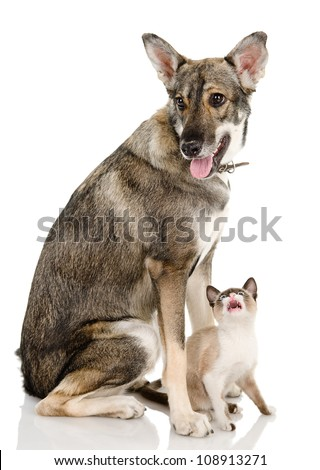 Mixed-breed dog and siamese cat. isolated on white background - stock photo