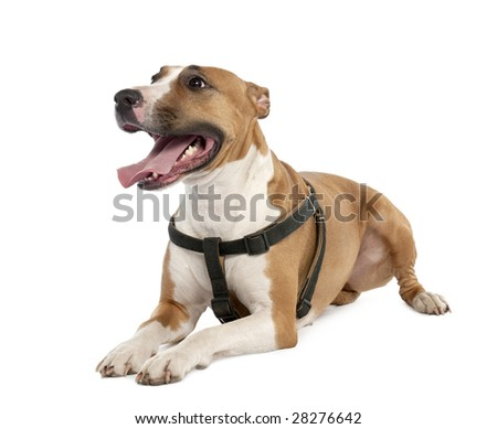 Mixed-Breed Dog between a bull terrier and a boxer (3 years old) in front of a white background