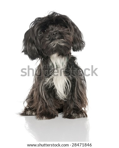 Mixed-Breed Dog between a yorkshire and a Lhasa Apso (2 years old)in front of a white background