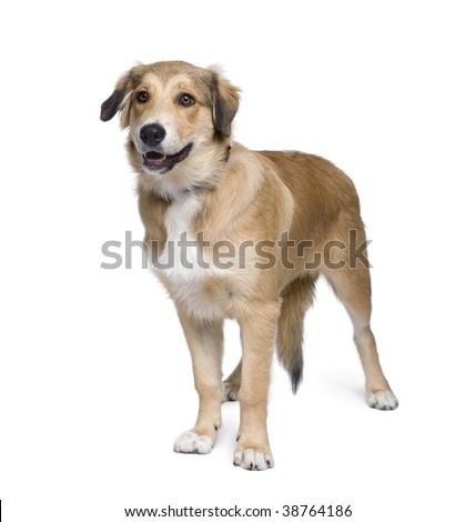 Mixed-breed dog between an Australian Shepherd and Golden Retriever, 5 months old, in front of white background