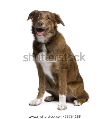 Mixed-breed dog between an Australian Shepherd and Golden Retriever, 5 months old, in front of white background - stock photo