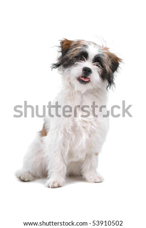 mixed breed dog (boomer) isolated on a white background - stock photo