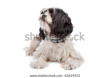 mixed breed dog (boomer) isolated on white