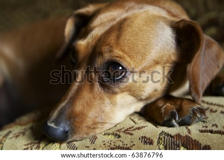 Mixed breed dog by dachshud and pinscher lying on sofa. - stock photo